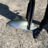 【アジング好きに朗報】佐賀の馬渡島でアジを釣ろう♪