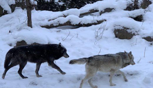 【哀愁漂う遠吠え】旭山動物園の15時に鳴くオオカミ