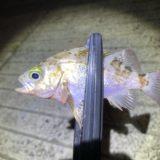佐賀鎮西町の漁港でナイトアジング行ってきましたー。《メバル釣れる!》