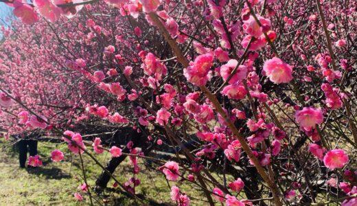 満開の梅の花【長崎県佐世保市】